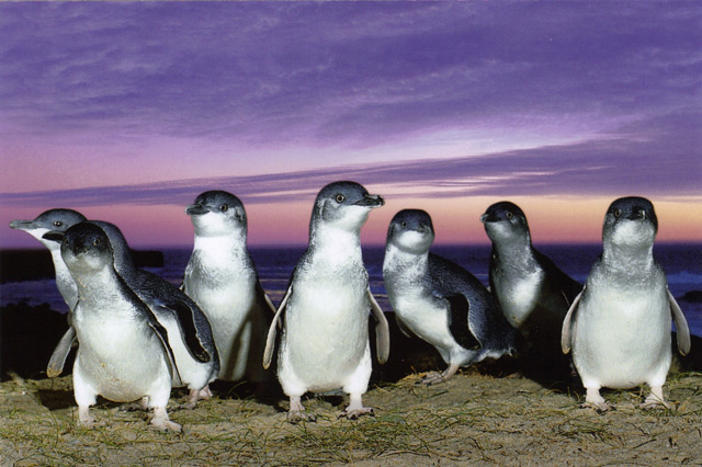 https://buddhatravel.com.au/assets/uploads/package/2019-10-10-04-05-47-penguin-tour.jpg